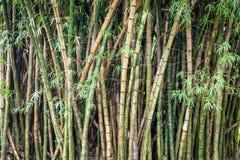 Foresta di bambù verde Immagini Stock Libere da Diritti