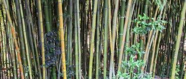 Foresta di bambù verde in Soci, Krasnodar Krai, Russia Fotografia Stock
