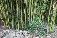 Foresta di bambù verde in Soci, Krasnodar Krai, Russia Immagine Stock