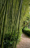 Foresta di Bambu Immagine Stock