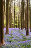 Foresta di Bluebell Immagini Stock