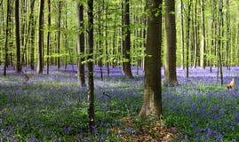 Foresta di Bluebell Fotografie Stock
