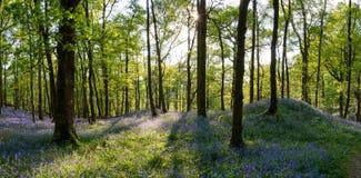 Foresta di Bluebell Fotografie Stock Libere da Diritti