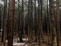 Foresta di conifere Fotografie Stock