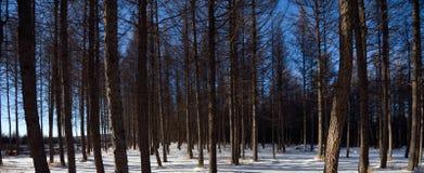 Foresta di conifere Fotografia Stock Libera da Diritti