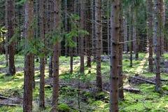 Foresta di conifere Fotografia Stock