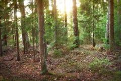 Foresta di conifere alla luce di mattina Immagine Stock Libera da Diritti