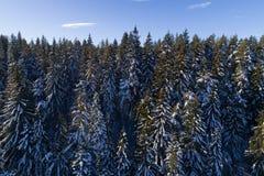 Foresta di conifere attillata coperta di neve nell'inverno Fotografia Stock Libera da Diritti