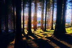 Foresta di conifere con luce solare Immagini Stock Libere da Diritti