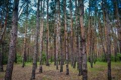 Foresta di conifere contro il cielo Fotografia Stock Libera da Diritti