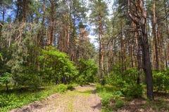 Foresta di conifere contro il cielo immagine stock