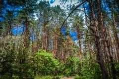 Foresta di conifere contro il cielo Immagini Stock