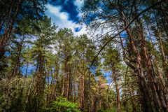 Foresta di conifere contro il cielo immagine stock libera da diritti