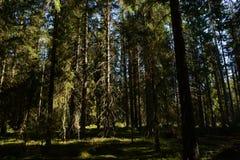 Foresta di conifere densa di alti abeti di ramificazione alla luce del sole di mattina fotografia stock libera da diritti