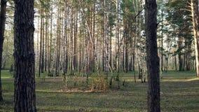 Foresta di conifere di estate video d archivio