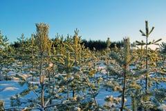 Foresta di conifere di inverno nel giorno soleggiato Immagine Stock