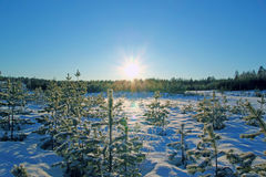 Foresta di conifere di inverno nel giorno soleggiato Fotografie Stock