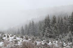 Foresta di conifere in nebbia densa durante la bufera di neve Immagine Stock