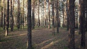 Foresta di conifere in Siberia stock footage