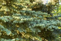 Foresta di conifere soleggiata Fotografia Stock Libera da Diritti