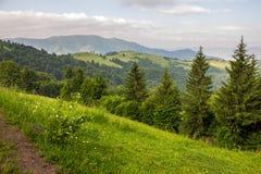 Foresta di conifere su un pendio di montagna Fotografia Stock