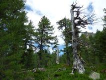 Foresta di conifere sui pendii delle alpi di Dinaric, Montenegro Immagini Stock Libere da Diritti