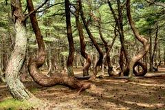 Foresta di Dancing Fotografie Stock Libere da Diritti