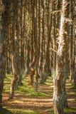 Foresta di dancing allo sputo di Curonian nella regione di Kaliningrad in Russia Fotografie Stock Libere da Diritti