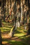 Foresta di dancing allo sputo di Curonian nella regione di Kaliningrad in Russia Fotografie Stock