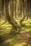 Foresta di dancing allo sputo di Curonian nella regione di Kaliningrad in Russia Immagini Stock