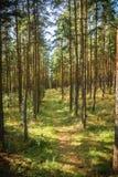 Foresta di dancing allo sputo di Curonian nella regione di Kaliningrad in Russia Immagini Stock Libere da Diritti