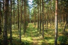 Foresta di dancing allo sputo di Curonian nella regione di Kaliningrad in Russia Immagine Stock Libera da Diritti