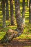 Foresta di dancing allo sputo di Curonian nella regione di Kaliningrad in Russia Fotografia Stock