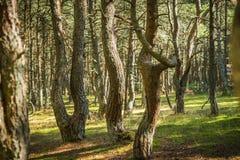 Foresta di dancing allo sputo di Curonian nella regione di Kaliningrad in Russia Fotografia Stock Libera da Diritti