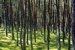 Foresta di dancing, sputo di Curonian, Russia Immagine Stock
