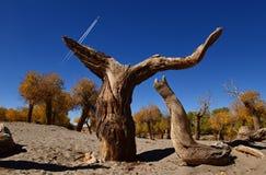 Foresta di diversifolia di populus fotografia stock
