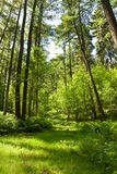 Foresta di estate Immagine Stock Libera da Diritti