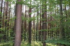 Foresta di estate, giorno soleggiato Immagini Stock