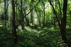 Foresta di estate su Sunny Day Immagini Stock Libere da Diritti