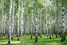 Foresta di estate in tempo soleggiato Fotografia Stock