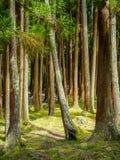 Foresta di Furnas su sao Miguel in Azzorre Fotografia Stock