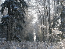 Foresta di gelo Immagine Stock