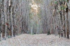 Foresta di gomma Fotografia Stock