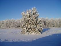 Foresta di inverno Immagini Stock Libere da Diritti