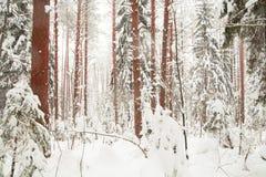 Foresta di inverno. Fotografie Stock