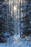 Foresta di inverno al sole Fotografie Stock