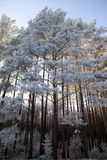 Foresta di inverno in Bielorussia, Europa Orientale Fotografia Stock Libera da Diritti