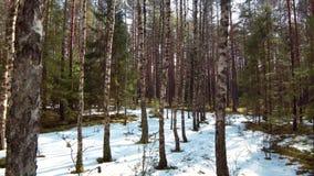 Foresta di inverno con neve di fusione in primavera archivi video
