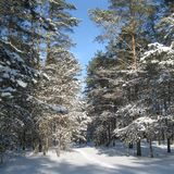 Foresta di inverno coperta di cielo blu fotografia stock
