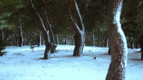 Foresta di inverno coperta nella neve video d archivio